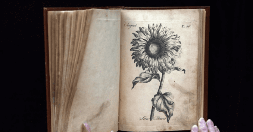 Engraving of a sunflower from 'The Florist' | © Laurie Skrivan