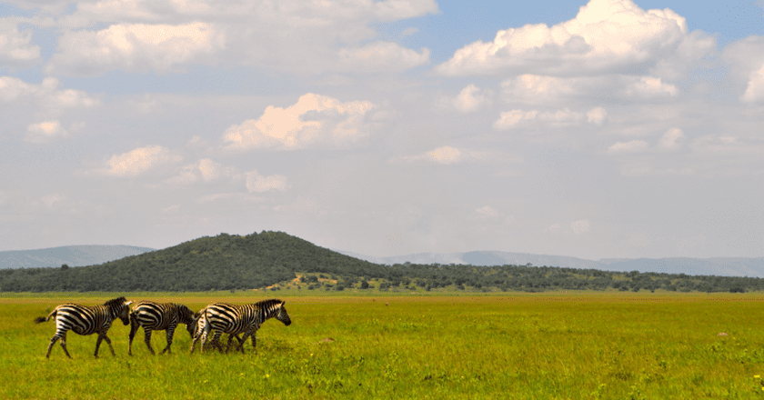 Zebras in Akagera National Park | Courtesy of Leah Feiger