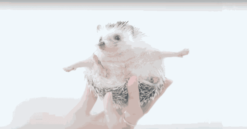 Meet Azuki, The Cutest Hedgehog From Japan |  © BoredPandaAnimals/ Youtube