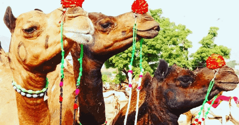 Camels at Pushkar Camel Mela | © Lucy Plummer