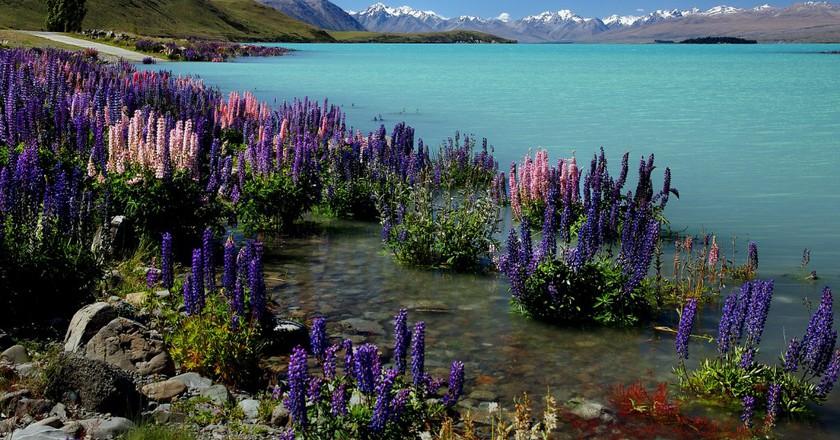 Russell Lupins. Lake Tekapo.NZ ©Bernard Spragg. NZ