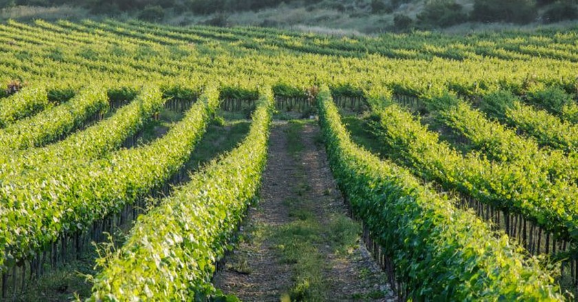 Vineyards in Israel | ©Irina Fuks/Shutterstock
