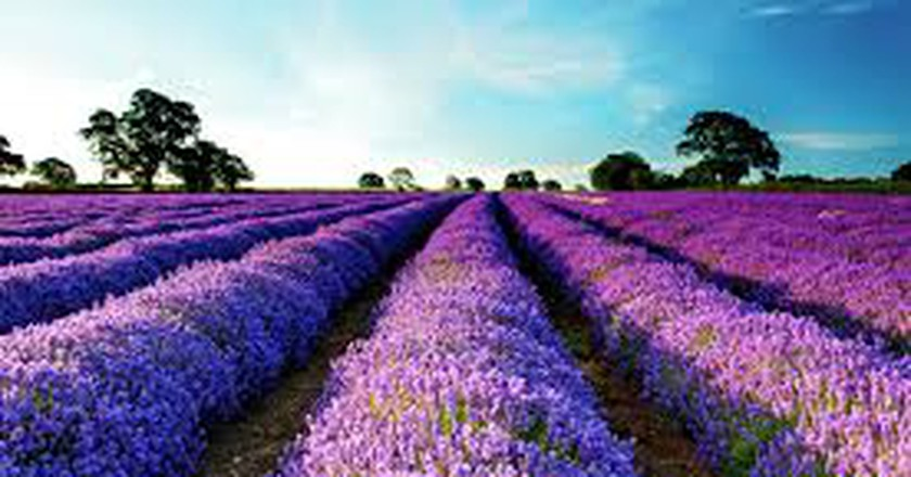 Lavenders/©Luan Anh/flickr