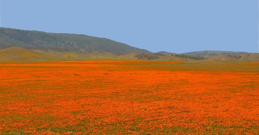 """California Poppies (aschschoizia Californica) © Gregory """"Slobirdr"""" Smith/flickr"""