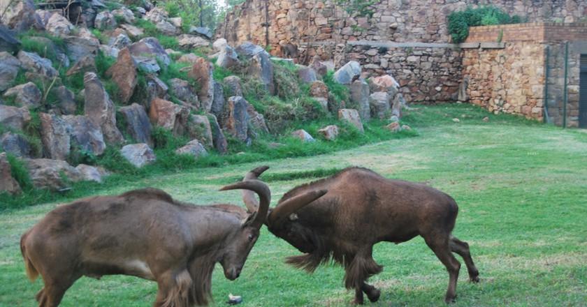 Mountain goats at Johannesburg Zoo | © Baynham Goredema/Flickr