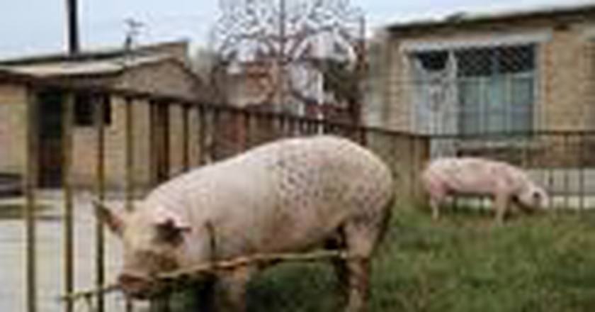 Wim Delvoye: Tattooing Pigs For The Art Of Provocation