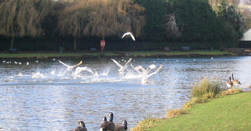 Ducks landing lakeside| © Matt Rosser/WikiCommons