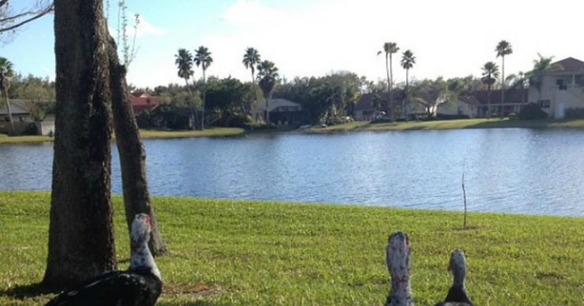 Ducks in Weston, Florida   © Paulo Castro/Flickr