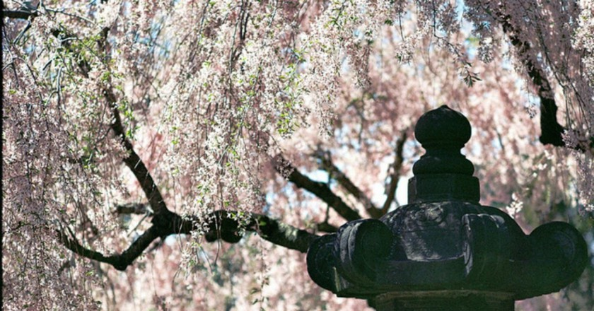 Cherry Blossoms @ Brooklyn Botanic Gardens| © Joseph Bylund/Flickr