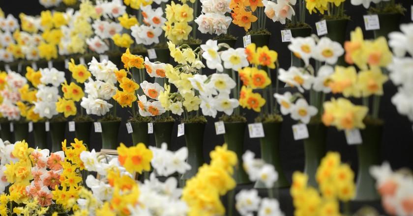 Daffodils in show at RHS Cardiff Spring flower show | Courtesy of RHS © Bethany Clarke