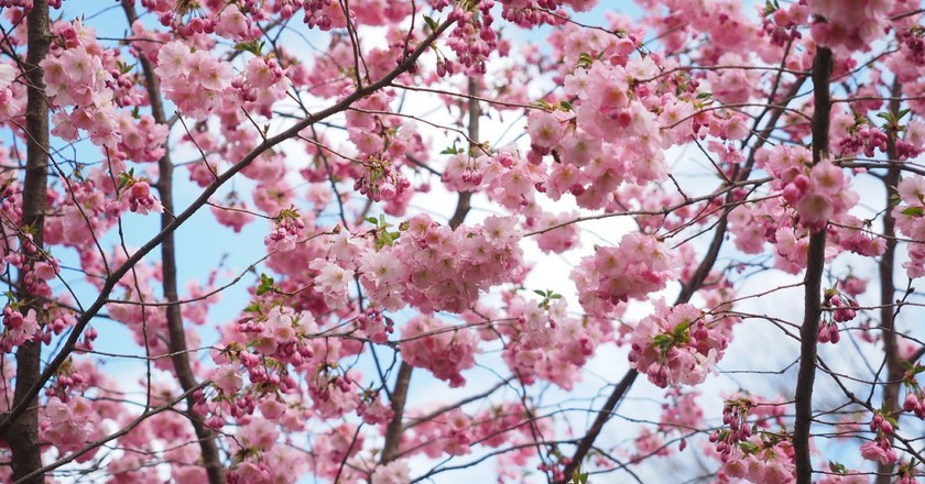 Celebrate Japanese Culture At Cherry Blossom Festival