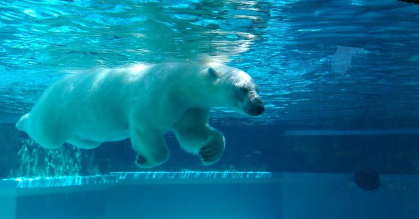 Swimming Polar Bear | © Cmadler/WikiCommons