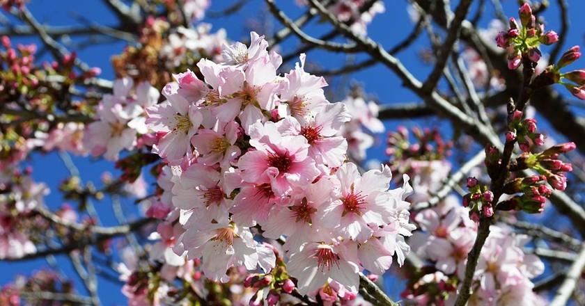 Lake Balboa Cherry Blossoms © Nandaro/Wikimedia