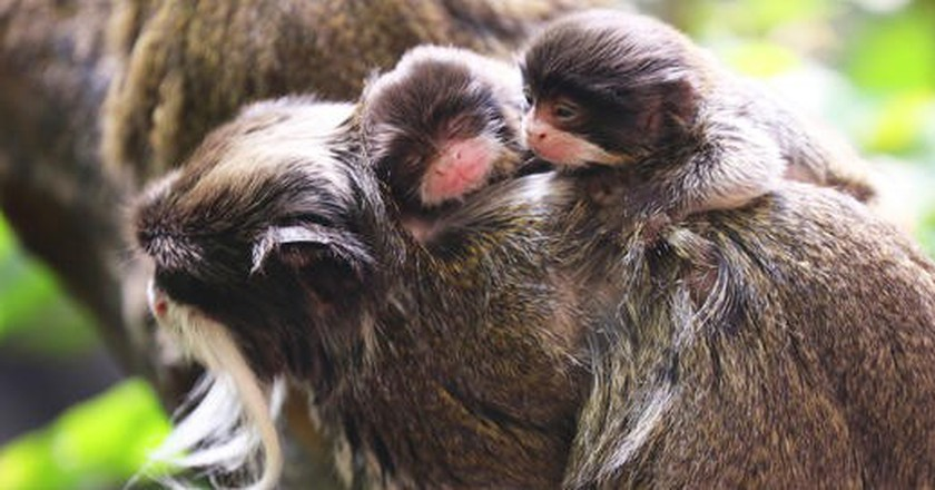 Emperor tamarins | Courtesy of ZSL London