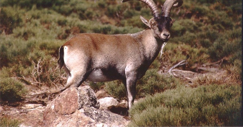 Things You Need To Know About The Spanish Ibex