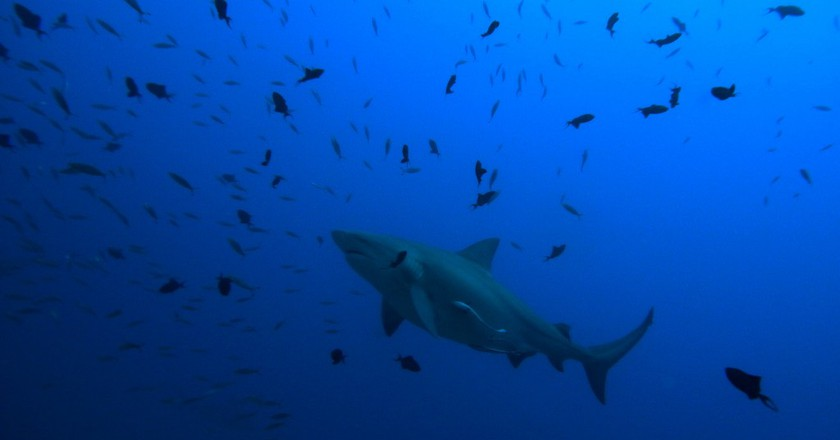 Aggressive & Easily Confused: 7 Facts About Sharks In Australia