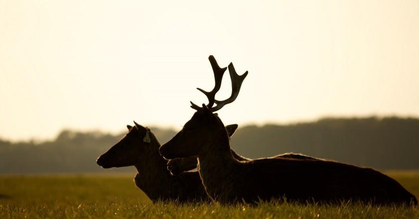 Phoenix Park Deer | ©Rob Collinsy/Flickr