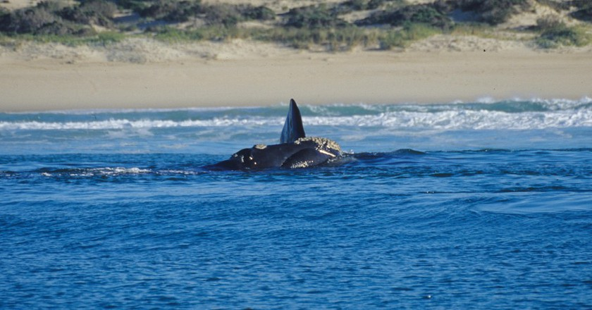 Southern Right Whale, Hermanus   © Mazzali/Flickr