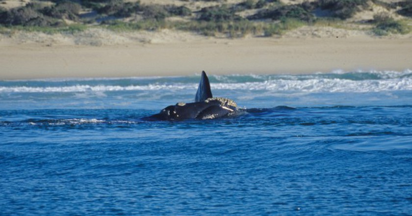 Southern Right Whale, Hermanus | © Mazzali/Flickr
