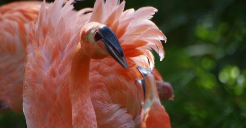 Flamingos at the Ménagerie du Jardin des Plantes │© pelican/Flickr