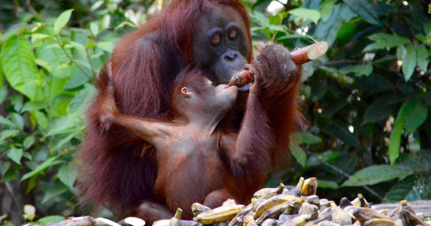 Saving the Planet's Lungs in Borneo