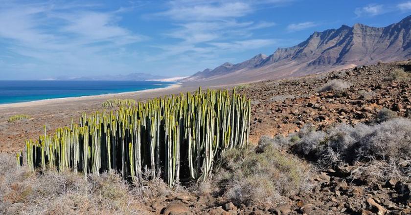 Canary Island spurge in Fuerteventura, Canary Islands | © Hansueli Krapf/WikiCommons