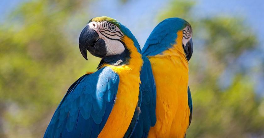 Blue macaw |© diegodobelo/WikiCommons