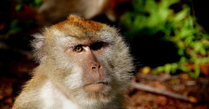 Macaque Monkey | © Bernard Spragg. NZ/Flickr