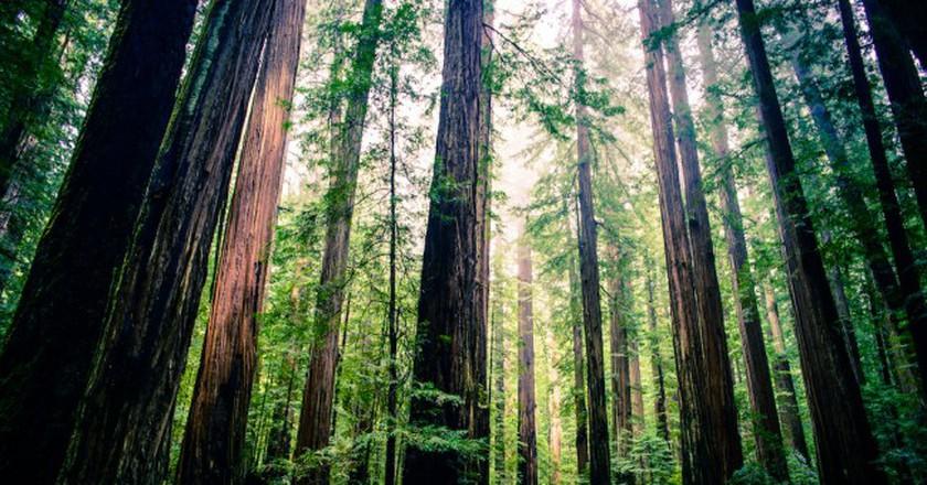 Giant redwoods   © Michael Balint/Flickr