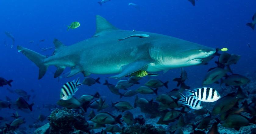 Beqa Shark Dive | © Nick Hobgood/Flickr