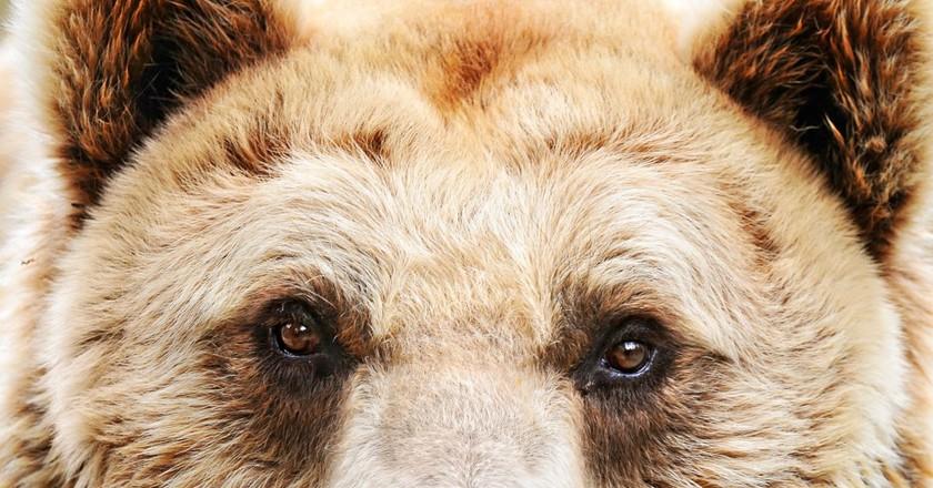 A Eurasian brown bear at a zoo in Amnéville, France │© Tambako The Jaguar