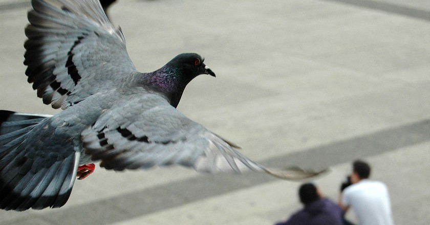 A Parisian pigeon caught in mid-flight │© Pablo Ibañez / Flickr