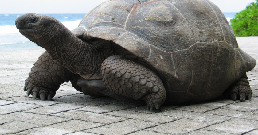 Aldabra Giant Tortoise | ©fred_pnd / flickr