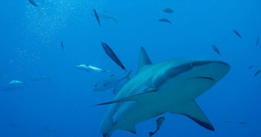 Shark | Public Domain Image