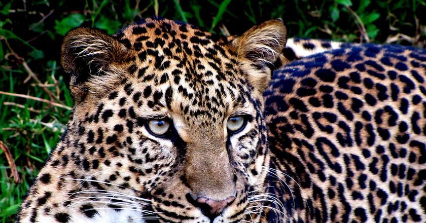 Leopard up close at Aberdare National Park   © Balathasan Sayanthan/ Flickr