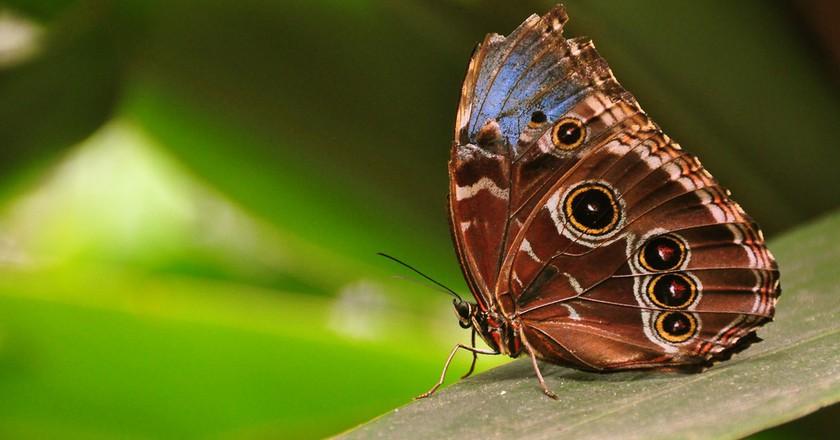 Morpho peleides, Costa Rica Rain Forest    © Armando Maynez/Flickr
