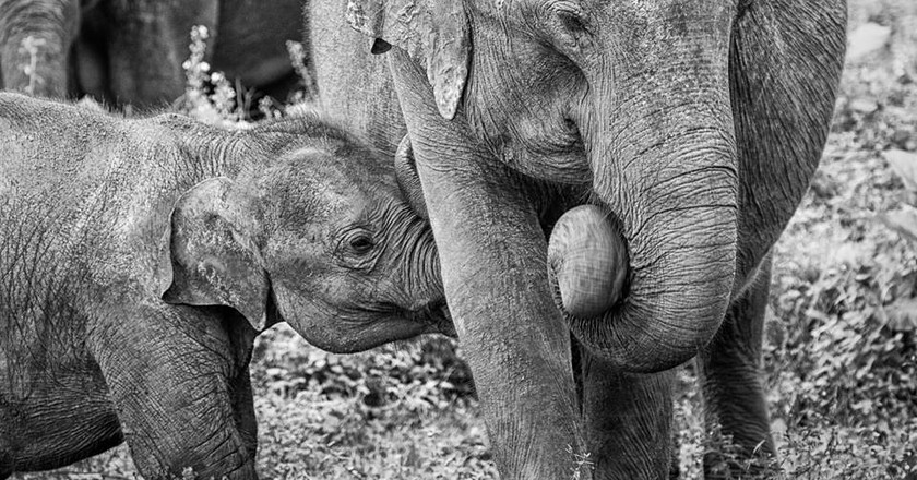 How Baby Elephants in Sri Lanka have become a Must-Have Symbol of Status