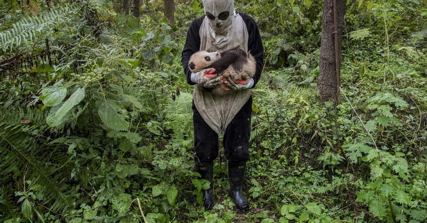 'Pandas Gone Wild' | © Ami Vitale, United States of America / 2017 Sony World Photography Awards