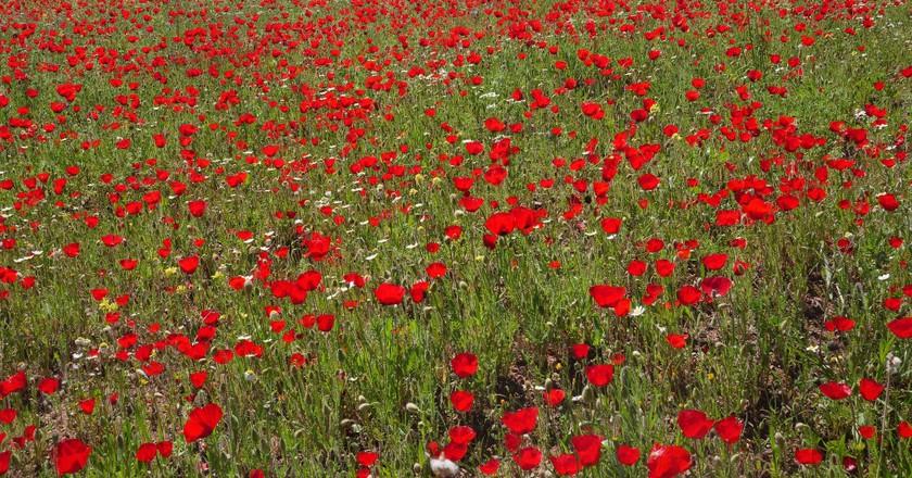Poppy field, Lesvos | © Frank Vassen/Flickr