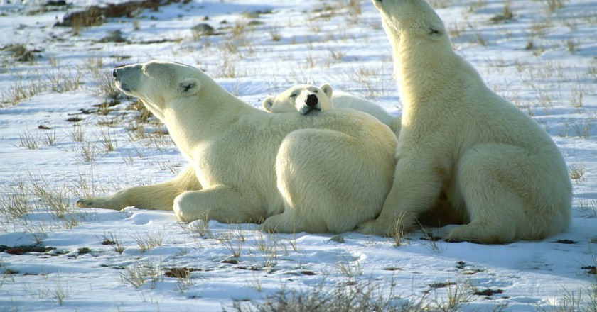 Polar bears chilling in Churchill | © Trevor Bauer / Flickr