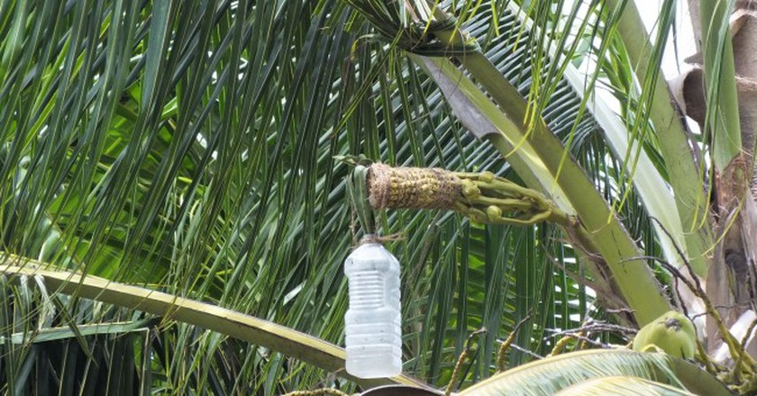 Sap of the palm being collected for palm wine   ©villimaka foliaki / Flickr