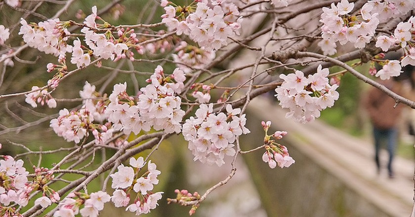Cherry Blossoms in Kyoto| ©  Kyoto-Picture  Flickr
