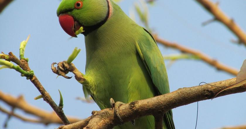 A rose-ringed parakeet   © JayDalal5 / © WIkiCommons