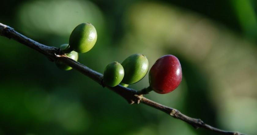 Coffee seeds or pods | © Shashank Gupta / Flickr