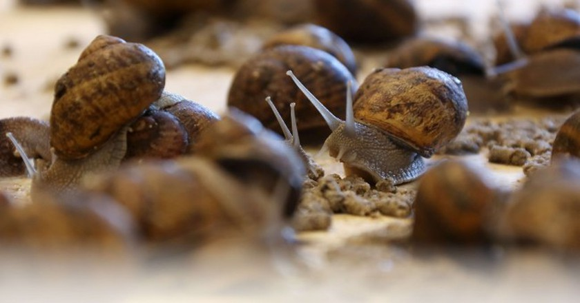 These shelled slowpokes are being cultivated en masse at an unusual Wallonian farm  | Courtesy of Escargotière de Warnant