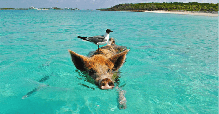 Swimming pig with a friend on his back   Pixabay