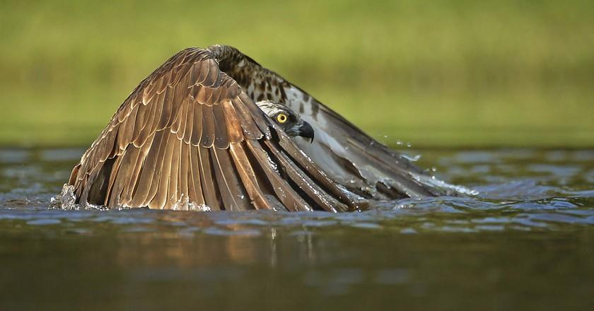 Undercover Osprey | © Gordon Rae