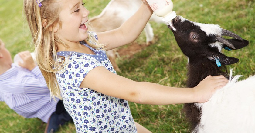 Bottle feeding the lambs | Courtesy of Cotswold Farm Park