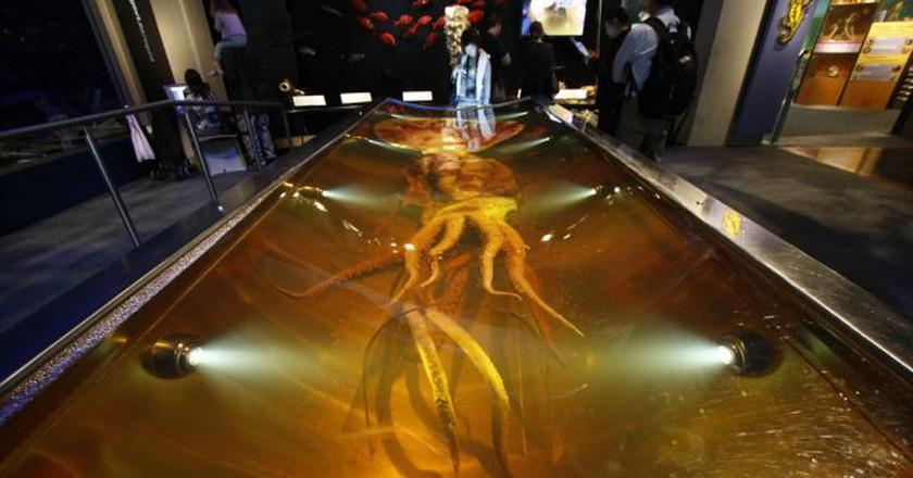 Colossal Squid Exhibit, Te Papa Museum   © Al404/Flickr
