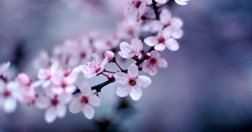 Sakura branch   © Jeff Kubina/Flickr
